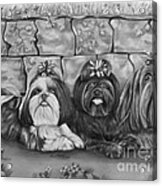Three Little Shih Tzus Acrylic Print by Lena Auxier
