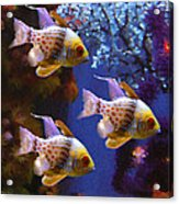 Three Pajama Cardinal Fish Acrylic Print by Amy Vangsgard
