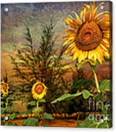 Three Sunflowers Acrylic Print by Adrian Evans