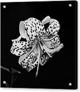 Tiger Lily In Black And White Acrylic Print by Sandy Keeton