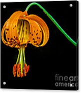 Tiger Lily Acrylic Print by Robert Bales
