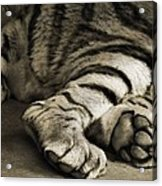 Tiger Paws Acrylic Print by Dan Sproul