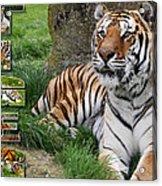Tiger Poster 1 Acrylic Print by John Hebb