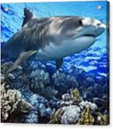 Tiger Shark Galeocerdo Cuvier Acrylic Print by Owen Bell