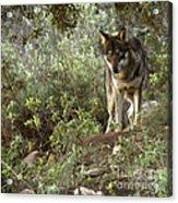 Timber Wolf Acrylic Print by Angel  Tarantella
