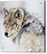 Timber Wolf Pictures 1268 Acrylic Print by World Wildlife Photography