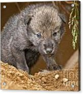 Timber Wolf Pictures 782 Acrylic Print by World Wildlife Photography