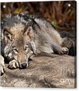 Timber Wolf Pictures 945 Acrylic Print by World Wildlife Photography