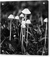 Toadstools V3 Acrylic Print by Douglas Barnard