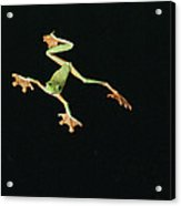 Tree And Leaf Frog Jumping Acrylic Print by Michael and Patricia Fogden