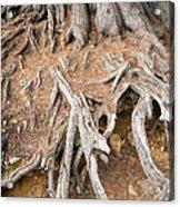 Tree Root Acrylic Print by Matthias Hauser