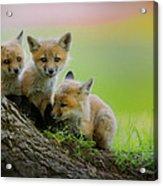 Trio Of Fox Kits Acrylic Print by Everet Regal