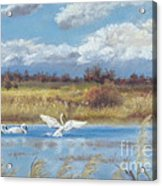 Trio Of Trumpeter Swans  Acrylic Print by Jymme Golden