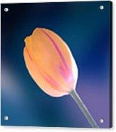 Tulip Acrylic Print by Marcin and Dawid Witukiewicz