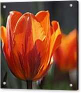 Tulip Prinses Irene Acrylic Print by Rona Black