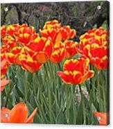 Tulips From Brooklyn Acrylic Print by John Telfer