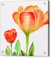 Tulips Orange And Red Acrylic Print by Ashleigh Dyan Bayer