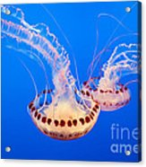Twin Dancers - Large Colorful Jellyfish Atlantic Sea Nettle Chrysaora Quinquecirrha  Acrylic Print by Jamie Pham