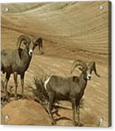Two Male Rams At Zion Acrylic Print by Jeff Swan