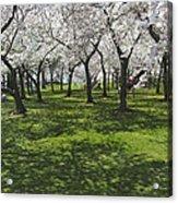 Under The Cherry Blossoms - Washington Dc. Acrylic Print by Mike McGlothlen