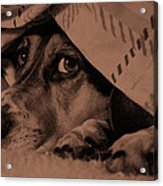 Undercover Hound Acrylic Print by Paul Wash