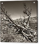 Uprooted - Bryce Canyon Sepia Acrylic Print by Tammy Wetzel