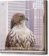 Urban Red-tailed Hawk Acrylic Print by Rona Black