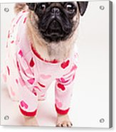 Valentine's Day - Adorable Pug Puppy In Pajamas Acrylic Print by Edward Fielding