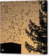 Vaux's Swifts In Migration Acrylic Print by Garry Gay