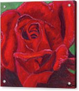 Very Red Rose Acrylic Print by Arlene Crafton
