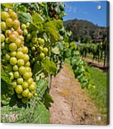 Vineyard Grapes Acrylic Print by Justin Woodhouse