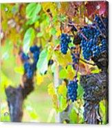Vineyard Grapes Ready For Harvest Acrylic Print by Susan  Schmitz