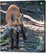 Wary Fox Acrylic Print by Bianca Nadeau