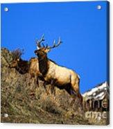 Watchful Bull Acrylic Print by Mike  Dawson