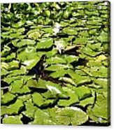 Water Lillies Acrylic Print by Les Cunliffe