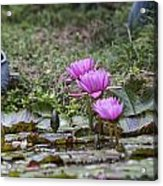 Water Lilly Trio Acrylic Print by Charles Warren