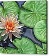 Water Lily Acrylic Print by David Stribbling