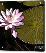 Water Lily Acrylic Print by Heiko Koehrer-Wagner
