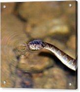 Water Snake Acrylic Print by Susan Leggett