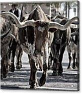 Watercolor Longhorns Acrylic Print by Joan Carroll