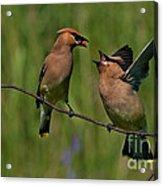 Waxwing Love.. Acrylic Print by Nina Stavlund