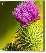 Wearing A Purple Crown - Bull Thistle Acrylic Print by Mark E Tisdale