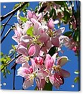 Weeping Cherry Tree Blossoms Acrylic Print by Carol Groenen