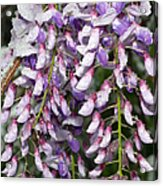 Weeping Wisteria - Spring Snow - Ice - Lavender - Flora Acrylic Print by Andee Design