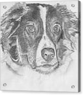 Welsh Border Collie Acrylic Print by Catherine Roberts