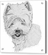 West Highland Terrier Drawing Acrylic Print by Catherine Roberts