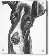 Whippet Black And White Acrylic Print by Kate Sumners