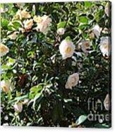 White Camellias Acrylic Print by Carol Groenen