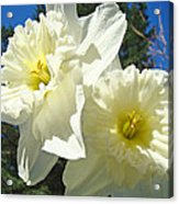 White Daffodils Flowers Art Prints Spring Acrylic Print by Baslee Troutman