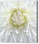 White Dahlia Floral Delight Acrylic Print by Jennie Marie Schell